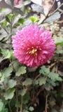 Dalia flower royalty free stock images