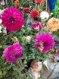 Dalia Flowers Group Royalty Free Stock Photography