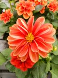 Orange dahlia flower. Dalia Garden plant of herbaceous stem and branchy, opposite leaves and divided into five or seven oval leaflets, with serrated margin Stock Photos