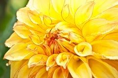 Dalia gialla Fotografie Stock