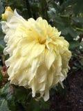Dalia gialla dopo la pioggia di estate immagine stock