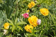 Dalia grande de la flor en amarillo con los tulipanes en una cama Fotografía de archivo libre de regalías