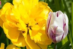 Dalia grande de la flor en amarillo con los tulipanes en una cama Imagenes de archivo