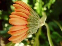 Dalia hermosa Foto de archivo libre de regalías