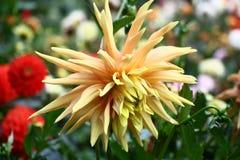 Dalia hermosa de la flor Foto de archivo libre de regalías