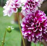 Dalia hermosa en el jardín Fotografía de archivo libre de regalías