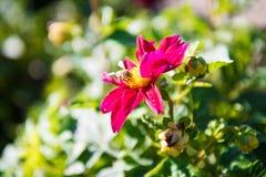 Dalia X Hybrida con una pequeña abeja Foto de archivo libre de regalías