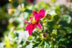 Dalia X Hybrida con una pequeña abeja Fotografía de archivo