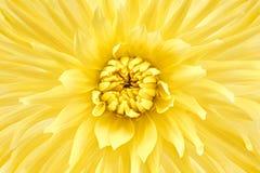 Dalia, kolor żółty barwił kwiat głowę Pracowniany krótkopęd Tło Fotografia Royalty Free
