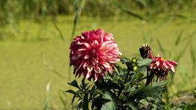 Dalia kwiatów kwiat Fotografia Royalty Free