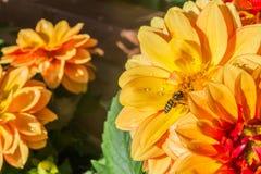 Dalia kwiat Obraz Stock