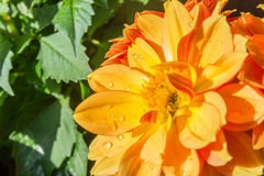 Dalia kwiat Obrazy Stock