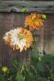 Dalia kwiat Krople rosa Zakończenie Zdjęcia Royalty Free