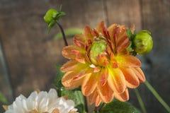 Dalia kwiat Krople rosa Zakończenie Fotografia Stock