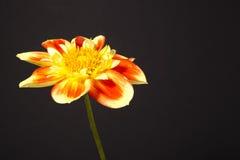 Dalia kwiat pooh Zdjęcie Stock