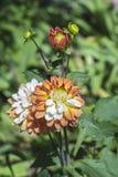 Dalia kwiat Zakończenie Zdjęcie Royalty Free