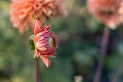 Dalia kwiatu głowa zaczyna otwierał, fotografuje od strony w naturalnego dnia świetle obraz royalty free