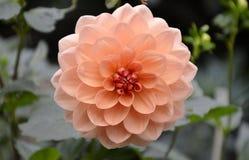 Dalia liście i kwiat Fotografia Royalty Free