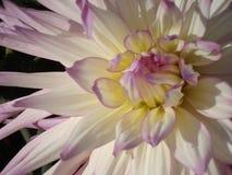 Dalia magnífica vibrante de la blanco-lila Primer fotos de archivo libres de regalías
