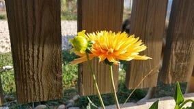 Dalia. My yellow Dalia flower from my garden beautiful Stock Images