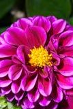Dalia púrpura fotografía de archivo libre de regalías