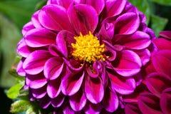 Dalia púrpura imagen de archivo libre de regalías