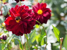 Dalia púrpura con una abeja del manosear que recoge el polen del estambre del yllow Foto de archivo libre de regalías