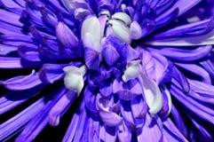 Dalia púrpura y blanca del primer Imagenes de archivo