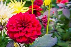 Dalia pennata rossa di fioritura Fotografia Stock Libera da Diritti