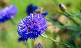 Dalia. Purple Flower Stock Image