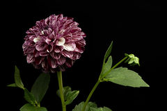 Dalia purpury barwi na czarnym tle Fotografia Royalty Free