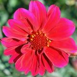 Dalia roja Foto de archivo libre de regalías