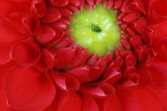 Dalia roja Fotografía de archivo libre de regalías