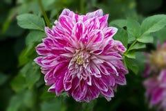 Dalia roja en la floración en un jardín Fotografía de archivo libre de regalías