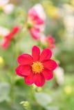 Dalia roja En naturaleza Foto de archivo libre de regalías