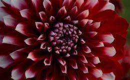 Dalia roja y blanca Fotos de archivo