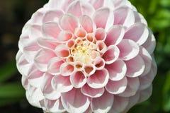 Dalia rosa del pompon Fotografia Stock Libera da Diritti