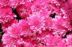 Dalia rosa su luce del giorno nel giardino in pieno dei fiori di fioritura fotografia stock
