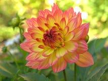 Dalia rosada Imagen de archivo libre de regalías