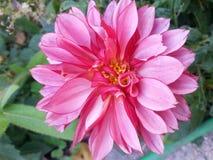 Dalia rosada Fotos de archivo