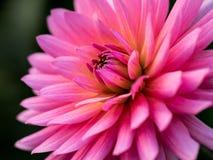 Dalia rosada Imagen de archivo