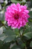 Dalia rosada Foto de archivo libre de regalías