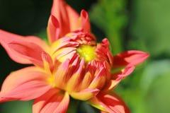Dalia rosada/anaranjada Imagen de archivo