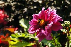 Dalia rosada con el abejorro en verano Foto de archivo libre de regalías