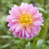 Dalia rosada de la flor Fotografía de archivo libre de regalías