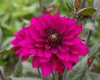 Dalia rosada de la flor Fotos de archivo