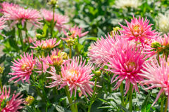 Dalia rosada de la flor Fotos de archivo libres de regalías