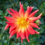 Dalia rosada de la flor Imagenes de archivo