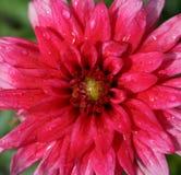 Dalia rosada después de la lluvia Imágenes de archivo libres de regalías