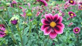 Dalia rosada en el jardín en un fondo verde Fondo de la naturaleza Foto de archivo